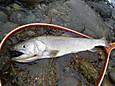 大岩魚45cm(雄